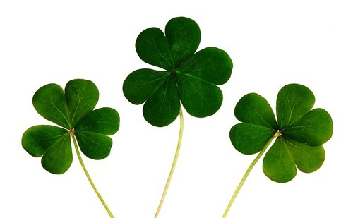 Irish Shamrock -  Lucky Irish - Success Story