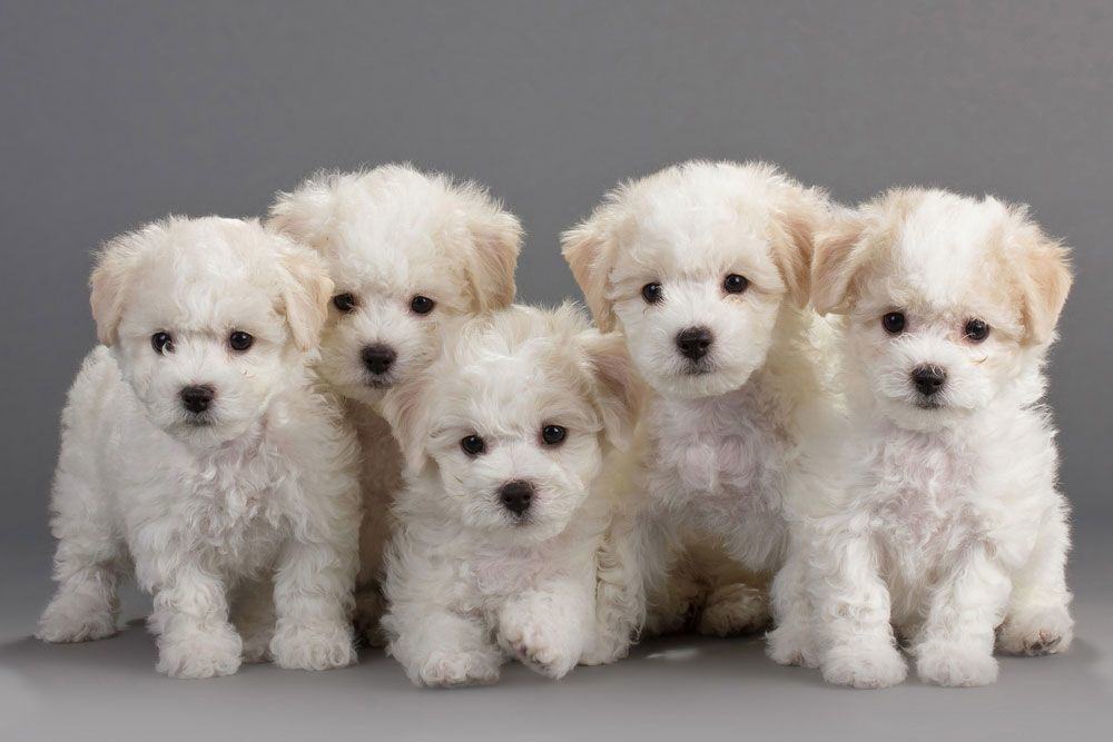 A Group of White Fluffy Puppies