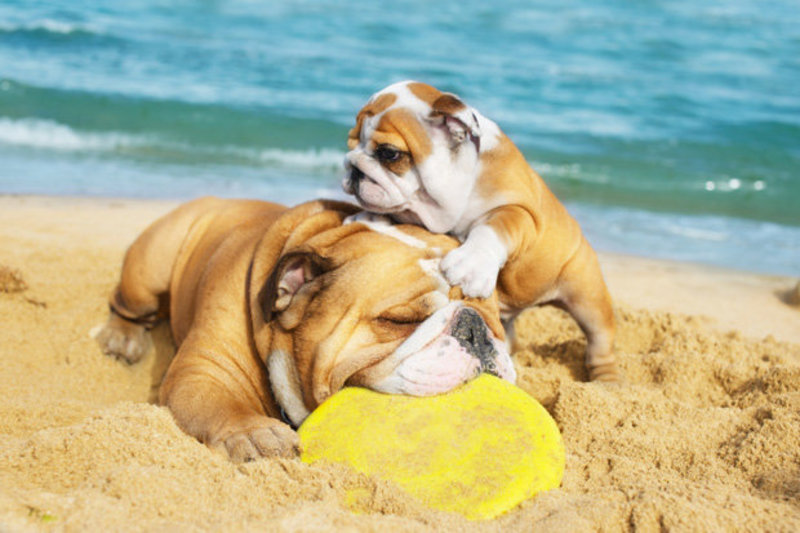 2 bulldogs on a beach with a yellow frisby