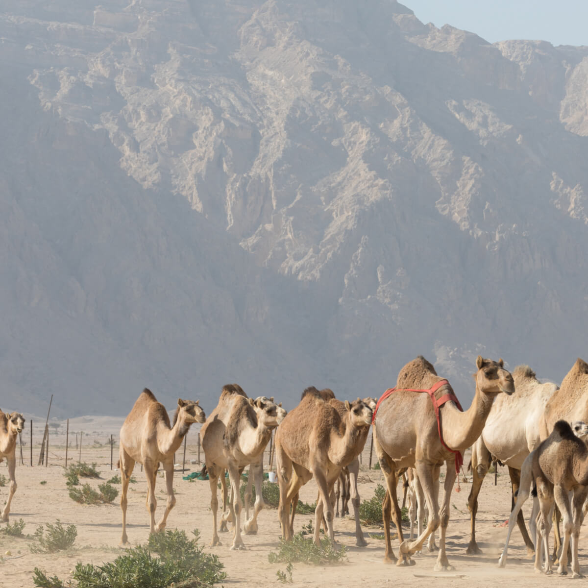 Camels in Jebel Hafeet Mountain